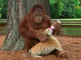 网传猩猩给老虎喂奶视频  揭露美国野生动物研究所丑闻