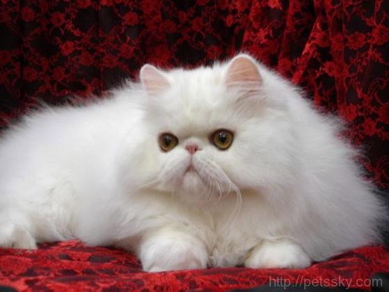 怎么养波斯猫?波斯猫的正确喂养方法