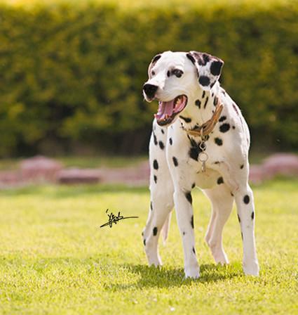 张小点是一只非常漂亮的斑点狗,主人分享养它的一些经历