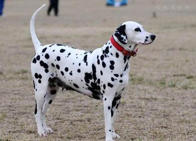 狗狗兴奋过度总是扑人,该如何纠正狗狗扑人呢?