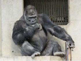 """日本动物园猩猩因""""太帅"""" 众多女游客慕名而来"""