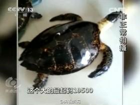 海南非法玳瑁交易:为保持光泽 用开水烫死百年龟