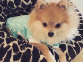 一只喜欢穿狗狗睡衣的博美犬(组图)