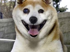 柴犬Cinnamon