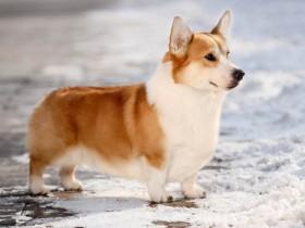 柯基犬的犬种介绍和购买技巧