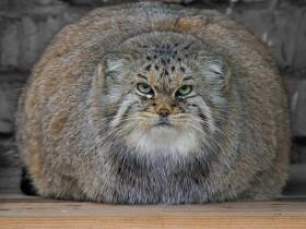 世界上表情最丰富的猫科动物——兔狲(帕拉斯猫)