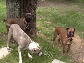 被领养的三只流浪狗 携手从黑熊手下救了小主人的性命