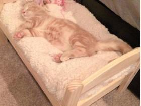 爱猫主人让猫咪睡孩子的玩具床 场面很温馨