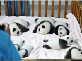 熊猫保育员戴上面具,只求能让它们顺利回归大自然