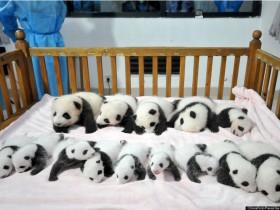 丹麦不只来找人吃生蚝,还套路了咱们两只熊猫