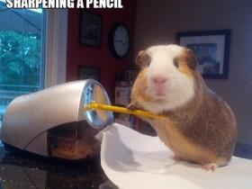 一只荷兰猪的日常生活 让人羡慕嫉妒恨