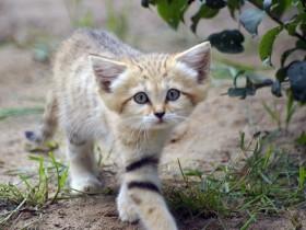 """最小的猫科动物:沙丘猫,猫界里的""""林志颖"""""""