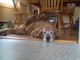 一只腊肠犬和一只金毛之间无条件的爱