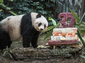 """大熊猫""""佳佳""""破世界基尼斯记录 37岁相当于人的111岁"""