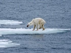 北极的浮冰因气候变暖加速融化 很多北极熊被饿死