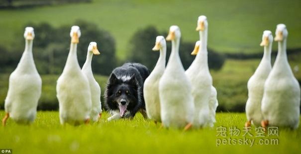 养一只边境牧羊犬(边牧)有何感受?