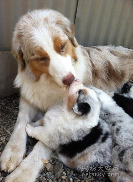 28张狗狗与它们孩子在一起的照片 画面非常温馨