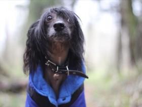 中国冠毛犬的品种档案