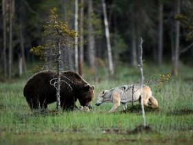 世界上的罕见照片:狼与熊不同寻常的友谊