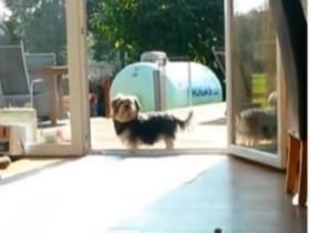 一只对玻璃门有恐惧感的狗狗 笑到肚子疼