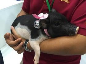 """汶川地震""""猪坚强""""后代成为宠物猪 售价为每只1万元"""
