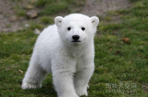 """明星北极熊""""克努特""""的坎坷一生"""
