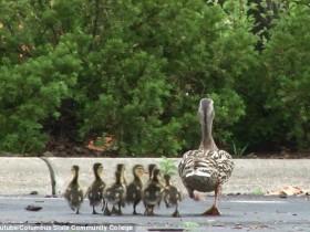 鸭妈妈正带着小鸭们过马路 没想到11只小鸭掉进下水道
