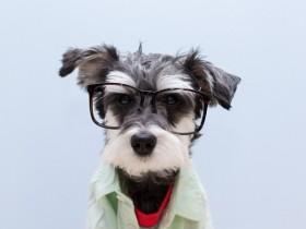 22张拉耷耳朵狗狗的照片 没有立耳和断尾才是真可爱