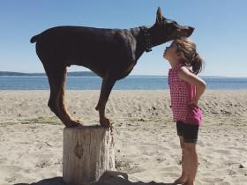 如何挑选杜宾犬?购买杜宾犬要注意什么