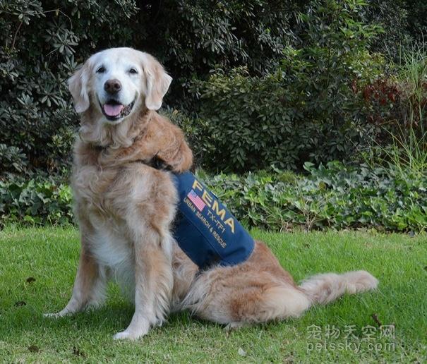 救援犬Bretagne