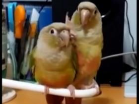 不养鸟不知养鸟人的快乐 看看这两只鹦鹉的欢乐表演