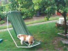 大雨中一只非常执着的斗牛犬 它可能想征服这个吊床