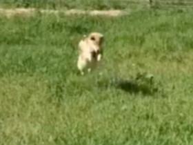 这只柴犬上辈子可能是一只羚羊 看看这走路方式就知道
