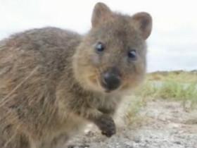 """短尾矮袋鼠:它们被称为""""世界上最快乐的动物"""""""