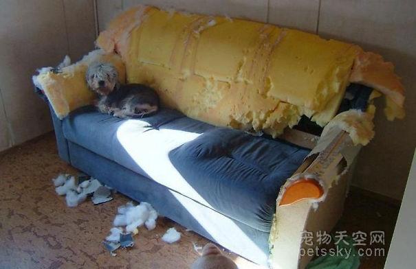 狗子喜欢拆家,铲屎官可能也会有问题!