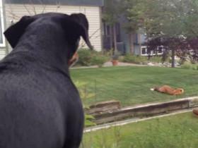 狗狗看到狐狸在玩自己的玩具 心都要碎了
