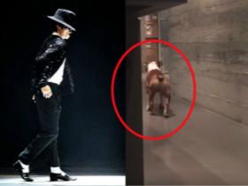 狗狗都会玩太空舞步了 肯定是迈克杰克逊的粉丝