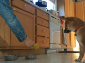 小柴犬终于等到吃饭的时间 只是对食盆的撞击声无抵抗力