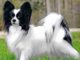 蝴蝶犬的宠物美容需要注意的问题