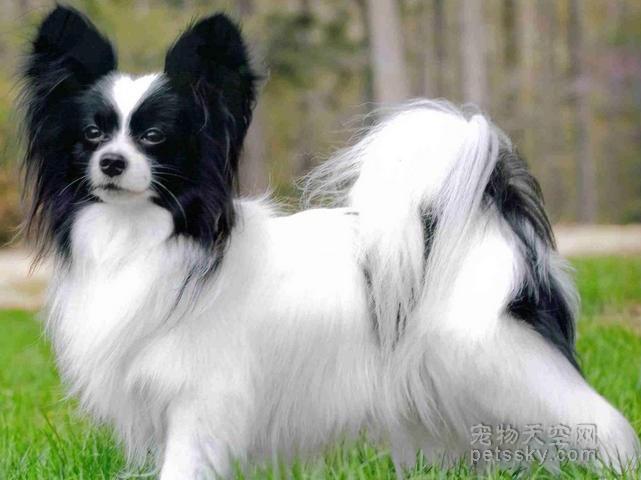 如果喜欢养食量比较小的狗狗,可以考虑这八种小型犬