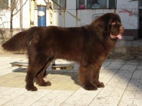养纽芬兰犬需要注意什么