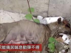 路边躺着一只在哭泣的狗妈妈 动保人员将其送到救助中心