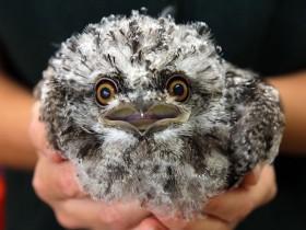 24张茶色蟆口鸱的照片 一种很萌很可爱的鸟