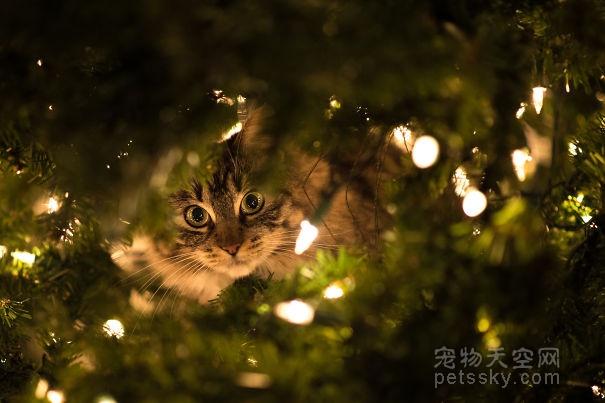 猫咪开始装饰圣诞树 预祝铲屎官们圣诞节快乐(30张)