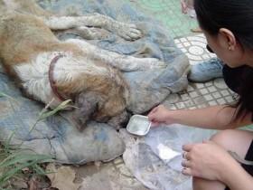 一只圣伯纳流浪狗的故事 看完默默的流泪了