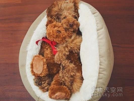 泰迪犬有哪些缺点?为什么有人会讨厌它?