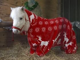"""圣诞节来临前 英国马场给小矮马一件很""""拉风""""的礼物"""