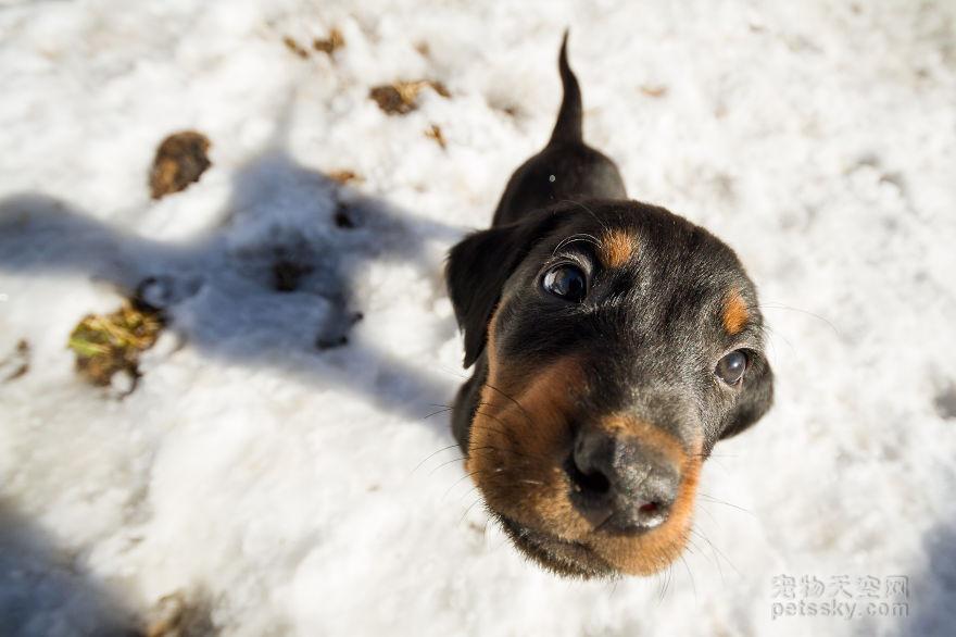 如何喂养罗威纳犬?罗威纳犬的营养药