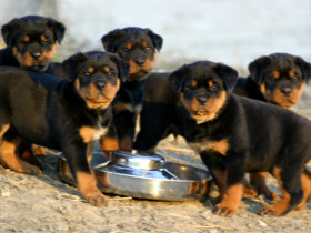 罗威纳犬的来历和FCI标准