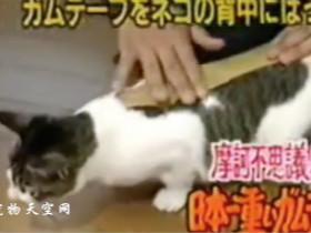 日本的整猫节目:给猫咪不同部位贴上胶布